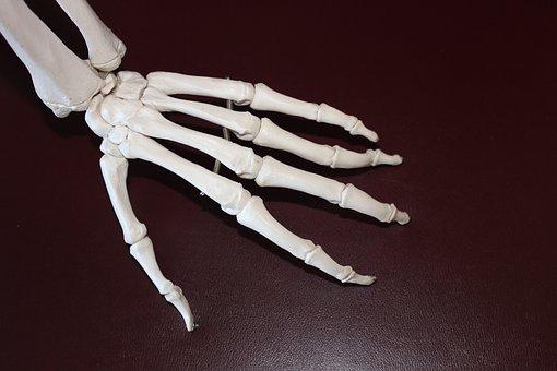 Skeleton, Hand, Bones, Anatomy, Joint, Skeletal
