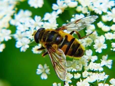 Bee, Honey Bee, Insect, Close, Yarrow, Whopper
