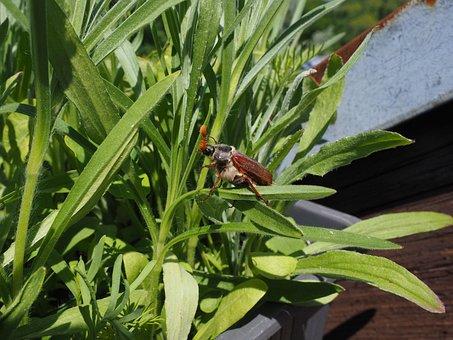 Maikäfer, Beetle, Insect, Krabbeltier, Creature, Spring