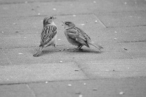 Mus, Sparrows, Homester, Bird, Birds, Nature, Animals