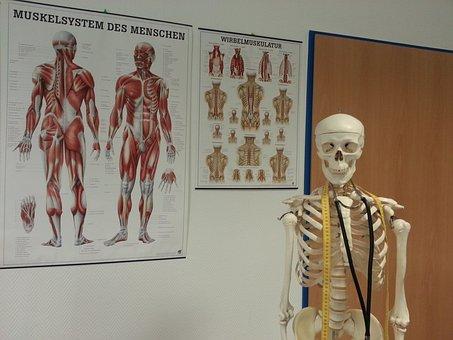 Skeleton, Bone, Anatomy, Bone Structure, Muscles
