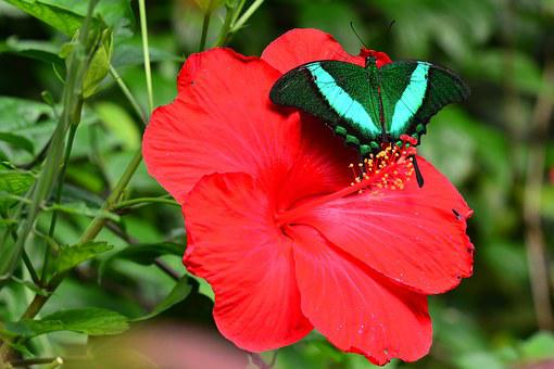 Emerald Swallowtail, Butterfly, Insect, Bug