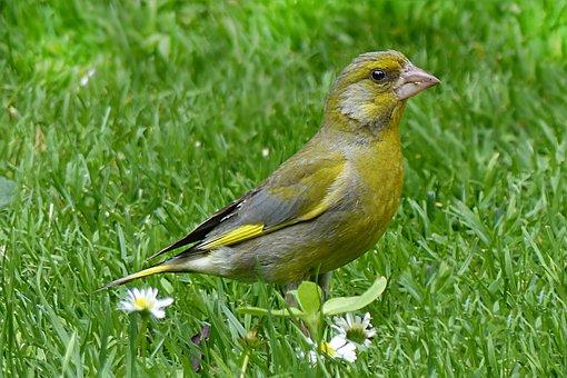 Animal, Bird, Greenfinch, Chloris Chloris, Foraging