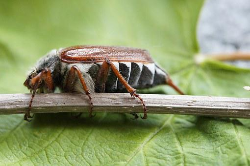 Maikäfer, May, Beetle, Insect, Spring, Creature