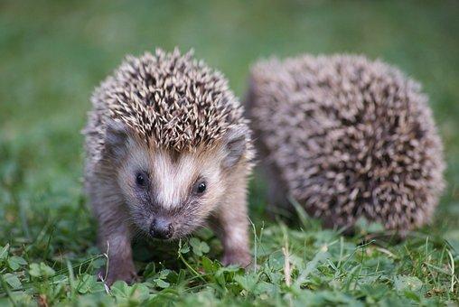 Hedgehog, Garden, Nature, Animal, Cute, Animal World
