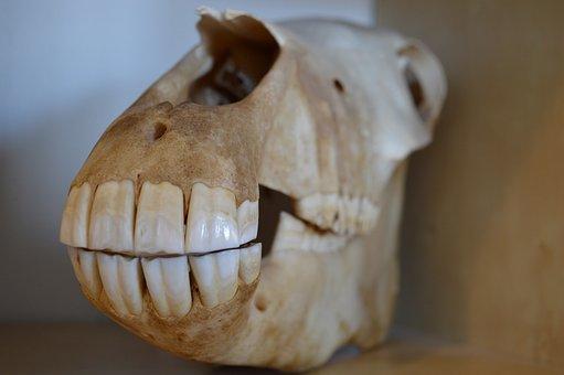 Skull, Death, Horse, Teeth, Anatomy, Bones, Jaw, Head
