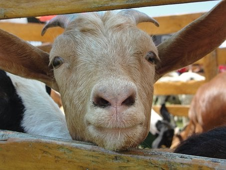 Goat, Fence, Staring, Farm, Domestic, Rural, Funny, Fur
