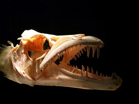 Skull, Predator, Teeth, Bones, Fish, Skeleton, Dead