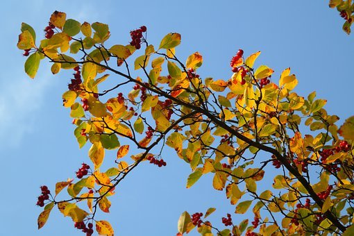 Leaves, Berries, Fruits, Red, Tree, Berry Red