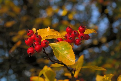 Berries, Fruits, Red, Tree, Leaves, Berry Red