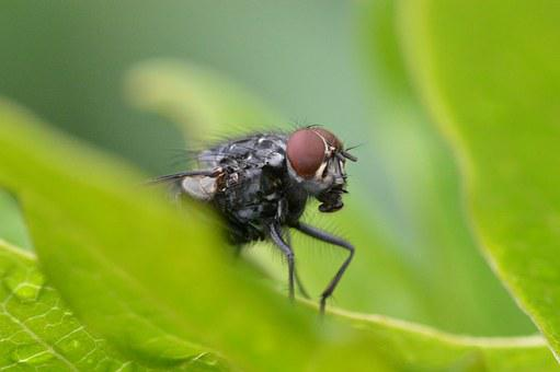 Fly, Close Up, Animal, Whopper, Insect, Compound Eyes