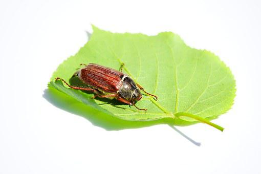 Maikäfer, Cockchafer, Beetle, Insect, Krabbeltier