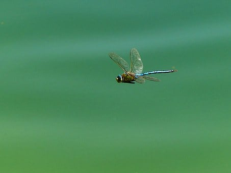 Dragonfly, Insect, Wing, Flight Insect, Close, Lake