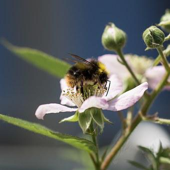 Hummel, Whopper, Insect, Blossom, Bloom, Pollen, Macro