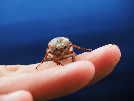 Maikäfer, Beetle, Animal, Insect, Krabbeltier, Creature