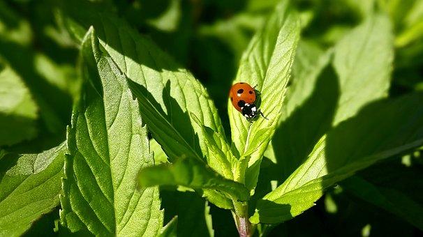 Ladybug, Mint, Leaves, Green, Red, Black, White, Bug