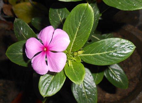 Flower, Madagascar Periwinkle, Nityakalyani