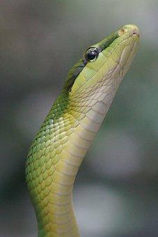 Sharpnose Snake, Snake, Non Toxic, Green, Snakes
