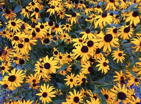 Black-eyed-susan, Rudbeckia Hirta, Flower, Plants