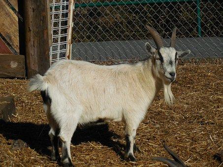 Goat, Animal, Farm, Livestock, Rural, Cattle, Pet