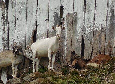 Barn, Goat, Animal, Farm, Livestock, Rural, Cattle, Pet