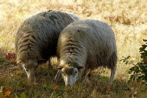 Animal, Livestock, Sheep, Ovisgmelini Aries, Foraging