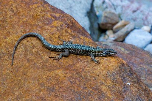 Lizard, Emerald Lizard, Verzasca