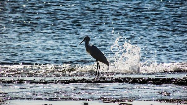 Heron, Bird, Animal, Wildlife, Wave, Smashing, Nature