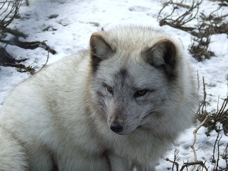 Arctic Fox, Fox, Snow, Fur, Animal, Wildlife, Wild
