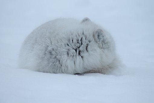 Fox, Arctic, Mammal, Wildlife, Carnivore, Arctic Fox