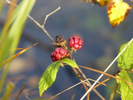 Blackberry, Red, Spur, Berries, Immature, Fruits, Fruit