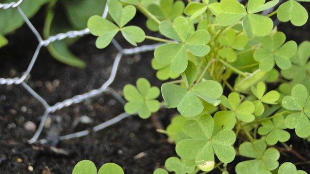 Clover, Green, Chicken Wire, Garden, Dirt, Plant