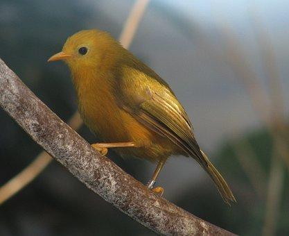 Bird, Color, Golden White Eye, Feathers, Nature, Beak