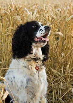 Dog, Springer, Spaniel, English Springer Spaniel