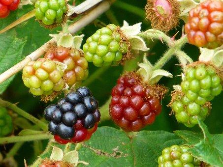 Blackberry, Forest Fruit, Fruit, Ripe, Immature
