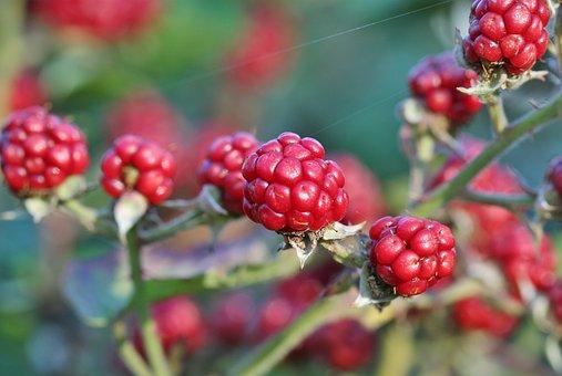 Blackberry, Berry, Fruit, Blackberries, Fruits
