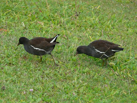 Young Birds, Moorhen, Water Bird, Gallinula Chloropus