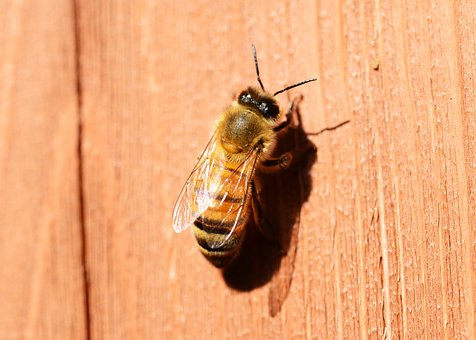 Honey, Bee, Buckfast, Insect, Honey Bee, Female