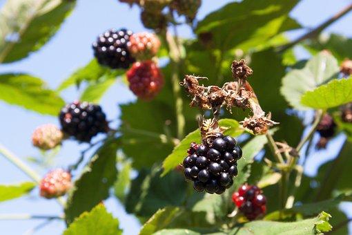 Blackberry, Wasp, Ripe, Immature, Red, Black, Nature