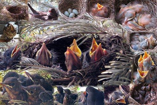 Nest, Bird's Nest, Young Birds, Chicken, Blackbird Nest