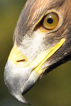 Adler, Eye, Bill, Bird Of Prey, Raptor, Golden Eagle