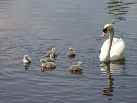 Swan Family, Swan, Swan Mum, Chicken, Family, Bird