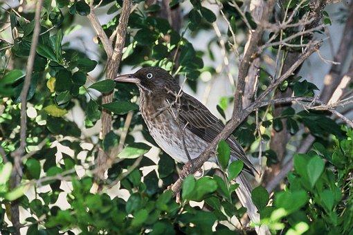 Tree, Bird, Thrasher, Eyed, Pearly, Birds, Animals