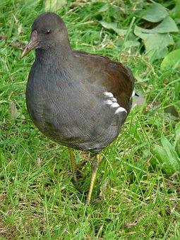 Common Moorhen, Moorhen, Water Bird