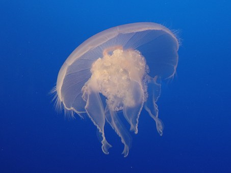 Moon Jelly, Jellyfish, White, Underwater, Wildlife