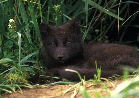 Arctic Fox, Animal, Mammal, Wildlife, Portrait