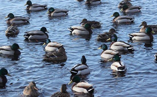 Anas Platyrhynchos, Mallard, Wild Duck, Birds, Flock