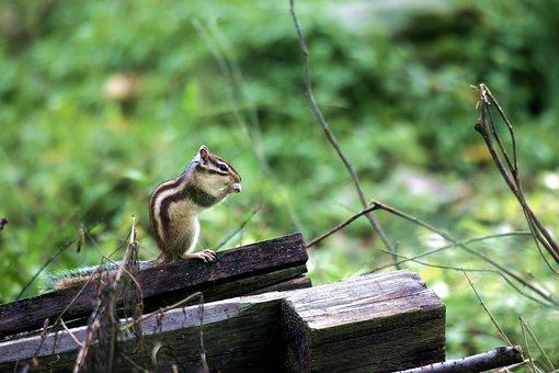 Squirrel, Rodents, Nature, Animal, Siberian Chipmunk