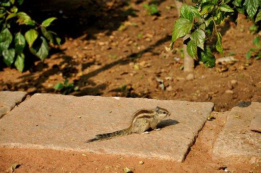 Siberian Chipmunk, Rodent, Animal, Pet, India, Bronze
