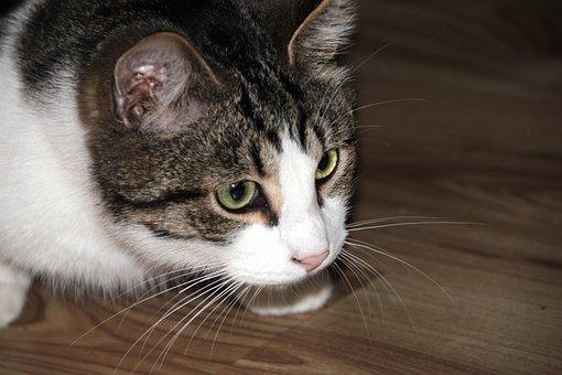 Cat, Kitten, Pet, Animals, Fur, Cute, Cat's Eye